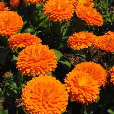 Fiore di calendula