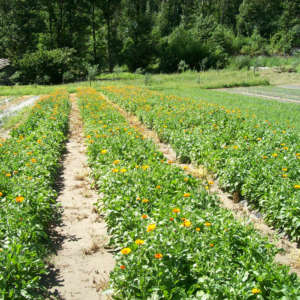 calendula officinalis coltivazione
