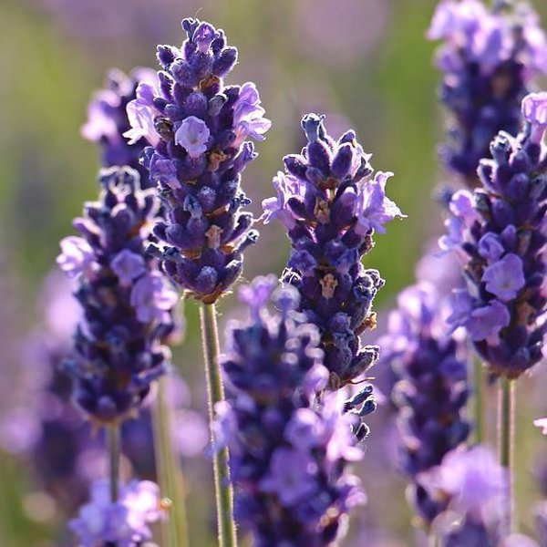 lavanda, benefici e proprietà