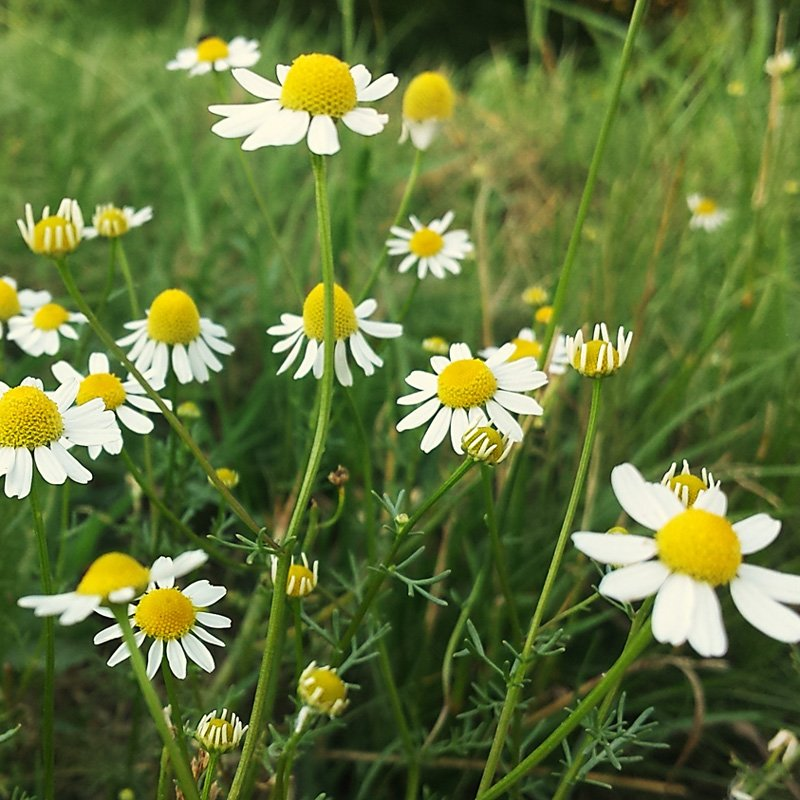 Essiccazione fiori camomilla